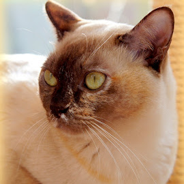 Tortie Burmese Cat by Caroline Beaumont - Animals - Cats Portraits ( tortie burmese cat )