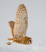 Photo: Barn Owl