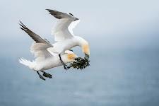 een Jan van Gent probeert, al vliegend, een stuk zeewier van een andere Jan van Gent af te pakken