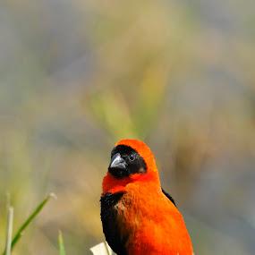by Belinda O'Connor - Animals Birds ( little red bird, bird, bird in grass )