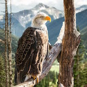 К чему приснился орел?