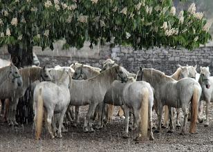 Photo: Lipizzaner horses, Slovenia