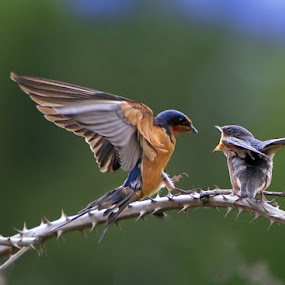 Feed me by William Lee - Animals Birds ( bird,  breeding,  action,  wildlife,  baby,  )