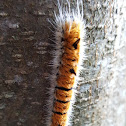 Fingered Dagger Moth