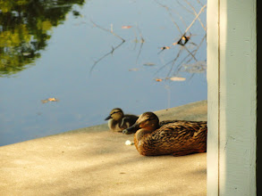 Photo: Momma and baby duckling relaxing in the sun by the gazebo at Cox Arboretum in Dayton, Ohio.