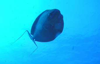 Photo: So many new fish to see!  This one is from the Surgeonfish family.  If you look closely, you can see a hard scale at the base of his tail which he can use defensively to cut other fish -like a surgeon's scalpel.