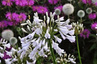 Photo: Agapanthus 'Windsor Grey' RHS gardens Wisley