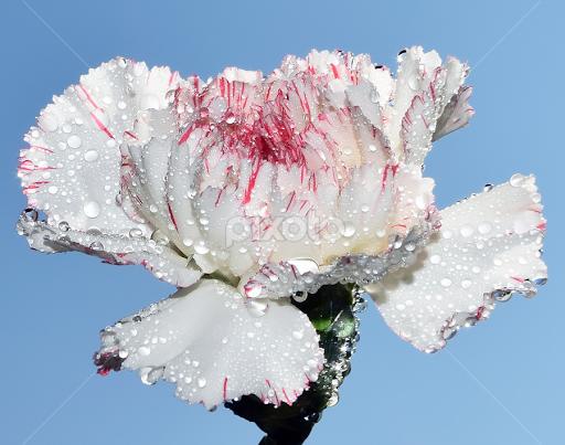 Nice Flower By Ladocki Elvira Flowers Single