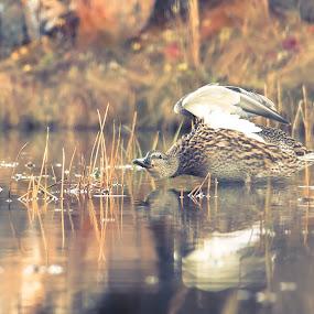 Mallard and her bathe by Stefán Margrétarson - Animals Birds ( water, bird, reykjavík, elliðaárdal, iceland, europe, mallard, wildlife, animal )