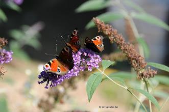 Photo: Tagpfauenaugen auf Schmetterlingsstrauch