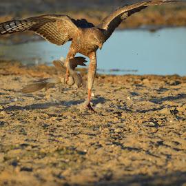Dancing with food by Riekie Van Zyl - Animals Birds