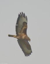 Photo: Common Buzzard Stubbins Lane, Claughton-on-Brock 08.04.13