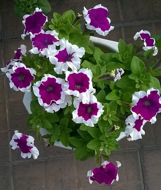 Hoa dạ yến thảo viền
