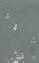 Photo: These sea gulls followed the ship in Glacier Bay.