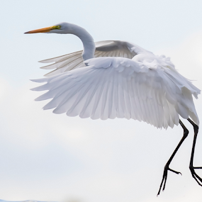 Great Egret by Robert George - Animals Birds (  )