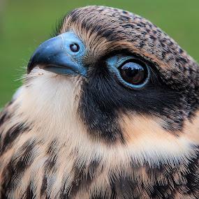 Lodolaia by Massimo Mazzasogni - Animals Birds ( bird, beak, raptor, feathers, hawk )