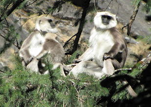 Photo: Langur monkeys - part of one of about 5 troops we saw