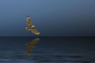 Photo: Red-Tailed Hawk glides over water