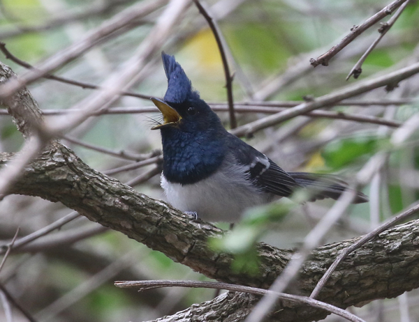 The blue-mantled crested flycatcher is one of the birds you may spot in Settlers Park