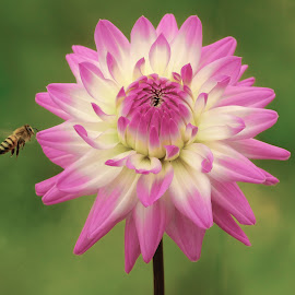 Dahlia with flying bee by Jim Downey - Flowers Single Flower ( bee, green, white, purple, petals )