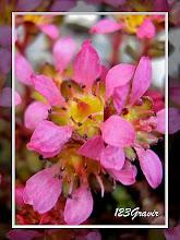 Photo: Saxifrage à deux fleurs, Saxifraga biflora