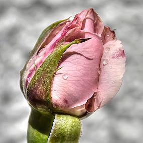 Just a... by Eugénio Buchinho - Nature Up Close Flowers - 2011-2013 ( rose, flower )