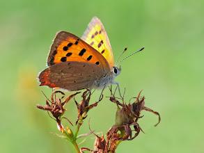 Photo: Lycaena phlaeas, Cuivré commun, Small Copper http://lepidoptera-butterflies.blogspot.fr/