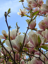Photo: #wpc2014 (first) signs of Spring  Well, a flowering Magnolia is actually not the first sign of Spring but Spring has been sooo early this year for us here that those signs are all withered and gone. But it's a sure sign of constant warm temperatures as you expect in Spring.