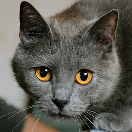Histoire2 by Serge Ostrogradsky - Animals - Cats Portraits ( chartreux )
