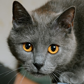 Histoire2 by Serge Ostrogradsky - Animals - Cats Portraits ( chartreux,  )
