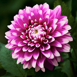 Dahlia 9899 by Raphael RaCcoon - Flowers Single Flower