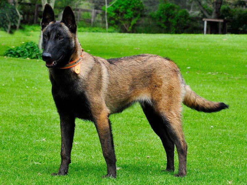 Harga anjing Herder murni. Harga jual beli anak anjing Herder di Indonesia
