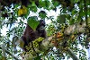 Indonesia. Borneo Kalimantan Orangutans. Orangutan male gorging himself on ripe fruits