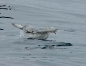 Photo: Southern fulmar - pelagic trip out of Vina del Mar, Chile - Nov 16, 2010