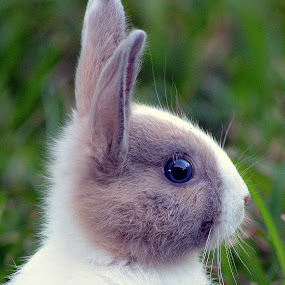 Easter Bunny  by Milton Moreno - Animals Other Mammals ( rabbit, bunny, rabbits, easter bunnies, bunnies, easter bunny,  )