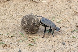 Photo: Dung Beetle