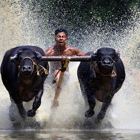 Cattle Race........... by Ramesh Kallampilly - News & Events Sports ( adventure, nature, sports, cattle, race,  )