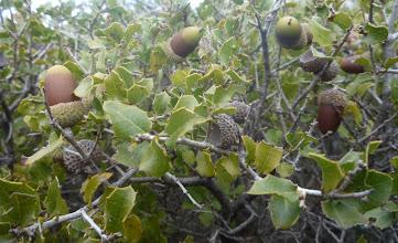 Photo: Glands de chêne kermés.