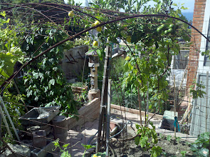 Photo: View from Upper area of garden Grapes look like they may produce some this year; lemons still need a while.