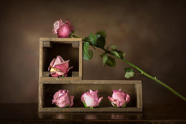 Cinque rose di Dariagufo
