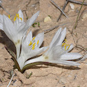 Egyptian Autumn Crocus