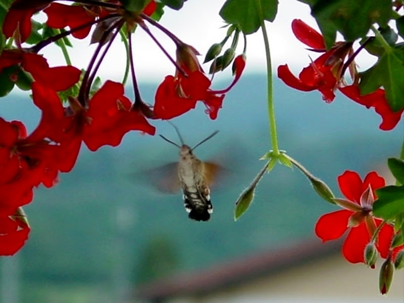"""il librare """"immobile"""" della sfinge colibrì di AlexSandra"""