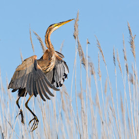 Purple Heron on take off. by Hennie Cilliers - Animals Birds ( purple heron., animal, motion, animals in motion, pwc76 )