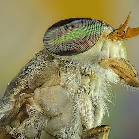 Horsefly by Rui Santos - Animals Insects & Spiders ( brazil, abaetetuba, stacked, nature, raynox, natureza, pará, fuji, focus, amazon,  )