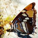 Arizona Sister butterfly
