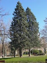 Photo: Ejemplares de arizónica (Cupressus arizonica)