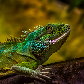Green lizard by Mauritz Janeke - Animals Reptiles ( emirates park zoo, lizard, uae, green lizard, mauritz, reptile, anu dhabi, animal )
