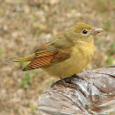 Eastern Summer Tanager female