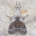 Calliteara Tussock Moth
