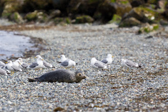 Photo: Seal Pup on Beach - Discovery Park, Seattle, WA